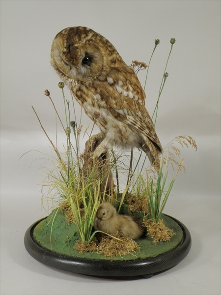 TAWNY OWL looking down at a duckling, modelled on rocky tree stump, amongst reeds and grasses, under glass dome, on circular ebonised base, 48cm high Illustrated