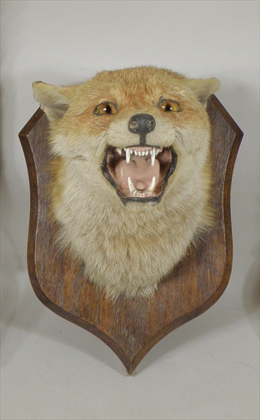 P. SPICER & SONS, LEAMINGTON FOX MASK mounted on an oak shield Illustrated