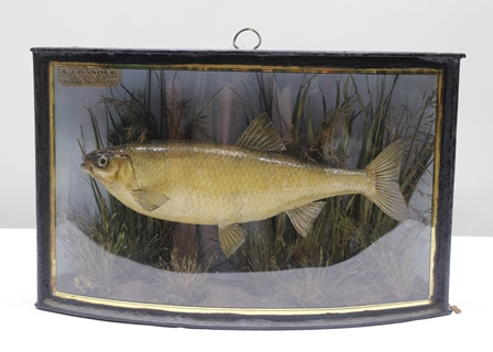 A MOUNTED DACE in naturalistic setting with painted background, in bow fronted painted case, 27cm x 43cm, bears label Dace caught by A.J. Randle, River Penk at Acton, Nov.16 1910, wt.15 1/2 ozs Dam