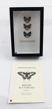 DAVID L. KENINGALE: Warwickshire based Taxidermist and Entomologist, FIVE LOTS of rare and historic LARGE BLUE BUTTERFLIES, each lot presented in sturdy, glazed entomological display case (15cm x 23cm) and issued with accompanying signed descriptivecatalogue (WWL LICENCE CL07/2015/0003) THE LARGE BLUE (M.arion) Cotswoldensis Ex. Coll. G.H.Simpson-Hayward 1920s Female: CRANHAM Glos. 22.VI.1922  Ex. Coll. G.H.Simpson-Hayward Male: ab.alconides HILCOT Glos. 23.VI.1920 Ex. Coll. G.H.Simpson-Hayward Female: ab.suffusa PAINSWICK 16.VI.1927 Ex. Coll. G.H.Simpson-Hayward