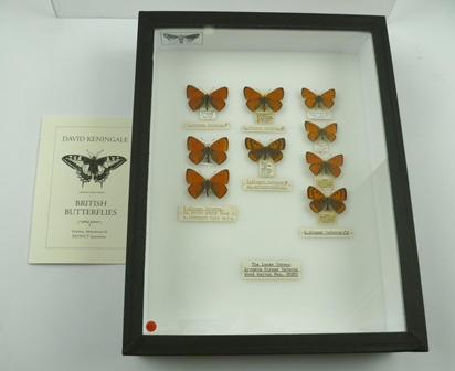 THE LARGE COPPER (Lycaena dispar batavus) L. dispar batavus, close to the original Large Copper L. dispar, which became extinct c. 1847.  L. dispar batavus discovered in 1915 and was successfully introduced in 1927 at Wood Walton Fen, Hunts. Nine specimens; 1 MALE bought pupa ex. M. White 11/7/2004 Paul Pugh 2 MALE Ex. DUTCH STOCK, Bred R. STOCKLEY 1983 WILTS. 1 MALE, data given freshly emerged by E.W. CLASSEY ex. Wood Walton 4/7/47 1 FEMALE ab.antico-radiata-HUNTS. WOOD WALTON 8/8/86 J.L. DYER 1 MALE, WOOD WALTON FEN, CAMBS. 29/6/84 EX. LARVAE 1 MALE, bred ex. female WOOD WALTON CAMBS. 2/8/1984 P.D. GREEN 1 MALE, bred WOOD WALTON ex. H.G. SHORT AUGUST 72 1 FEMALE, bred WOOD WALTON ex. H.G. SHORT AUGUST 72