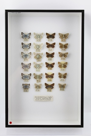 THE CHALK-HILL BLUE (L. Coridon) Collection of twenty-four specimens showing upper and underside varieties, data; DOVER, KENT - AUGUST 1936, DUDLEY G. MARSH