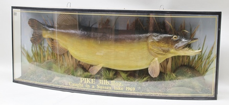 A MODEL OF A LARGE PIKE FISHING TROPHY, displayed in a naturalistic setting with painted backdrop and bow fronted display case bearing the legend 31 lbs 11oz, caught in a Sussex Lake 1969, 48cm x 123cm