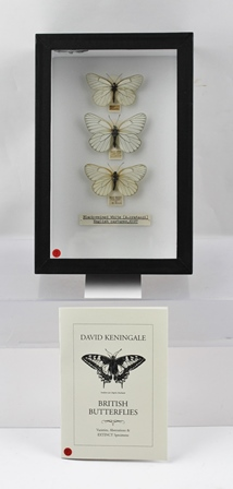 THE BLACK-VEINED WHITE (A.crataegi) Historic English Captures KENT.   Male - DEAL, July 1907 Male - EAST KENT, Junt 1921, Ex. Coll. L.W. NEWMAN Female - EAST KENT, July 1921, H. WOOD (minor aberration extra wing segmentation)
