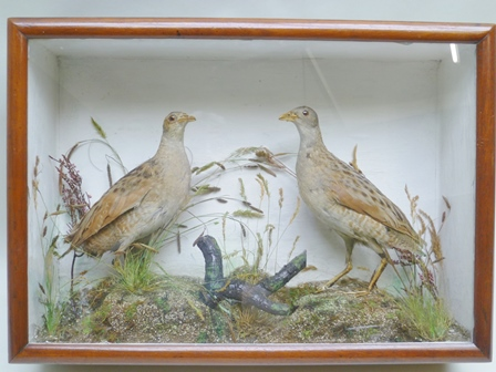 A PAIR OF CORN CRAKES modelled in a naturalistic setting in a painted and stained wood glazed case, 36cm x 50cm