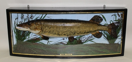 PIKE 1899 in river bed naturalistic setting with painted back drop, within a bow fronted painted glazed display case with gilt  line detail and H.G. 1899 Wye, 50cm x 122cm