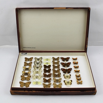 COLLECTON OF BRITISH BUTTERFLIES, to include The GRAYLING, The MARBLED WHITE, GREEN-VEINED WHITE, RINGLET, SPECKLED WOOD, PEACOCK Ex. Coll. G.V. BULL, CLOUDED YELLOW f. helice, The SMALL COPPER including the bronze form cuprinos, will full data, displayed in early store box