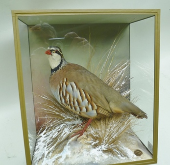 DAVID KENINGALE, Taxidermist, Warwickshire FRENCH PARTRIDGE modelled in standing pose and set in effective Winter snow scene, displayed in distinctive jungle green taped case, 30cm x 35cm, with farthing trademark set into groundwork. Stamped, signed and numbered 1031 verso