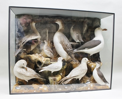 NINE SEA BIRDS in the manner of HUTCHINSON including Great Northern Diver in winter plumage, Little Grebe, Herring Gulls, Shag, Blackheaded Gull, Herring Gulls etc., mounted against a rockwork background with shells, within a glazed and painted display case by H.T. Shopland, 92cm x 107cm x 37cm (see label verso)