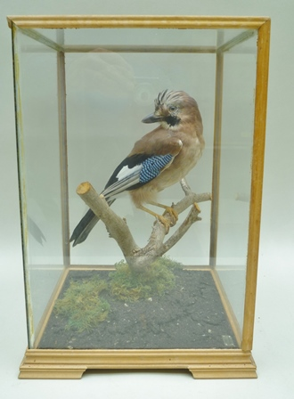 A JAY modelled on a branch in a naturalistic setting, contained within a stained wood four sided glazed display case, 38cm x 28cm x 25cm