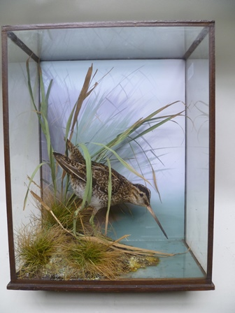 PETER SPICER & SONS, LEAMINGTON SPA A SNIPE on a river bank in naturalistic setting with painted backdrop in a glazed case, label verso, 38cm x 29cm