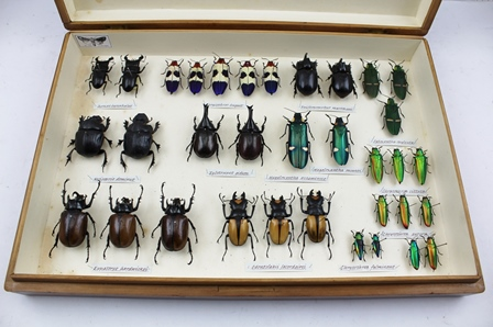 A STRIKING COLLECTION OF EXOTIC COLLECTORS BEETLES. 34 colourful iridescent specimens, accurately arranged and displayed in a cork and papered wooden entomological store box, with handwritten Latin species labels and full data attached to pin beneath the individual specimen
