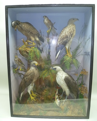 A CASE CONTAINING FOUR EAGLES, perched on rockwork bases, together with two SPARROW HAWKS perched on branches in naturalistic setting, painted backdrop in painted glazed case, 127cm x 92cm, label verso STAMMWITZ, SON & GILES, Argyle Street, RegentsStreet, London W