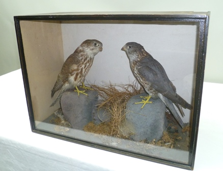A PAIR OF VICTORIAN MERLINS modelled perched on rocks in naturalistic setting, within a glazed painted wood display case, height 38cm, width 52cm