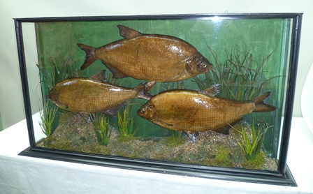 THREE BREAM modelled in underwater naturalistic setting with painted backdrop, within a painted wood glazed display case, 62cm x 110cm