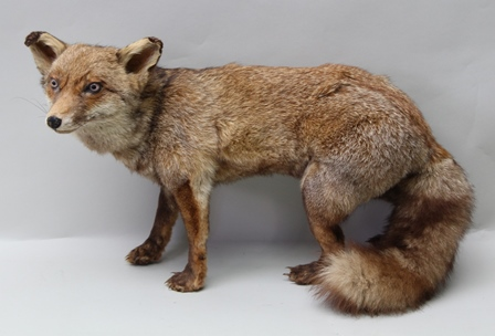 A TAXIDERMY SPECIMEN OF AN OPEN MOUNTED FOX, 43cm high