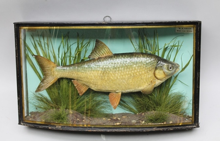 J. COOPER & SONS, 28 Radnor Street, St. Lukes, London, EC ROACH, Caught by W.G. Smith, wgt.1lb 13ozs., - a well modelled fish in bow fronted glass case, in original condition