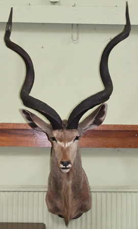 GREATER KUDU head and shoulders mount, horn length approx 1.35m (one horn AF)
