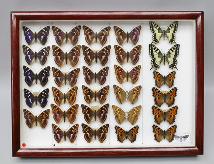 DAVID L. KENINGALE (LEPIDOPTERIST) WILDLIFE LICENCE TAXIDERMY SALES (ENTOMOLOGY) Ref: CL07/2015/0003 Fine collection of European Butterflies (chiefly France) Ex. Coll. David L. Keningale.  Specimens in A1 condition, well presented in Family order, with accurate data, covering the years 1990-2016 LESSER PURPLE EMPEROR (A.ilea) - 22 specimens, typical form and form (Clytie), PAIR OF SWALLOWTAIL, five male and female LARGE TORTOISESHELL, presented in glazed Watkins & Doncaster display case
