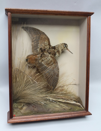DAVID L. KENINGALE - TAXIDERMIST WARWICKSHIRE FLUSHED WOODCOCK, well-modelled specimen in flight, glass fronted mahogany case, with subtle use of colour, effectual groundwork and balanced arrangement of grasswork, characteristic of his work and distinctive style.  Trademark Farthing set in groundwork, stamped, signed and offered with illustrative certificate of authenticity, case no. 835, 20th Jan 2005