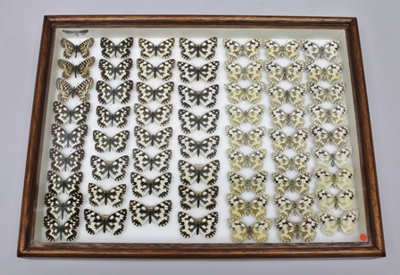 3 SPANISH FESTOON, 57 MARBLED WHITE showing dark form, typical and underside variation, including 4 female specimens, ab. ulbrichi (underside hindwings marking less, only the markings of the upperside showing through), presented in glazed mahogany display case