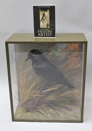 DAVID L. KENINGALE - Taxidermist, Warwickshire JACKDAW a well modelled mature specimen, set on natural branchwork, wings closed, clasping Silver Sixpence, in jungle green taped case, distinctive ground and grass work. Trademark Farthing. Stamped and numbered verso, signed and issued with illustrative certificate. Case no.1042