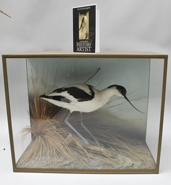 DAVID L. KENINGALE - Taxidermist, Warwickshire AVOCET (Recurvirosa avosetta) Ex. captivity. A well modelled  specimen displayed in three panelled Jungle Green taped case. Trademark Farthing set into effectual groundwork and balanced arrangement of grasswork, characteristic of his work and style. Stamped, signed and issued with illustrative certificate of origin and authenticity. Case no.983.