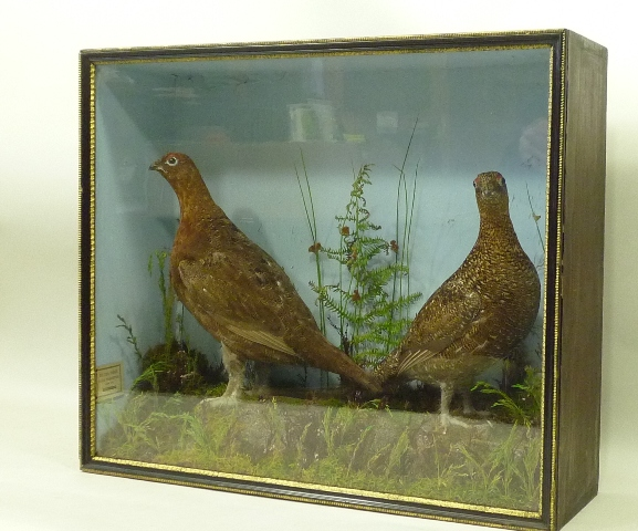 THOMAS ROBSON PAIR OF GROUSE mounted on rocky mossy groundwork before painted backdrop, bears interior paper label, in stained wood glazed display case, 54cm x 62cm