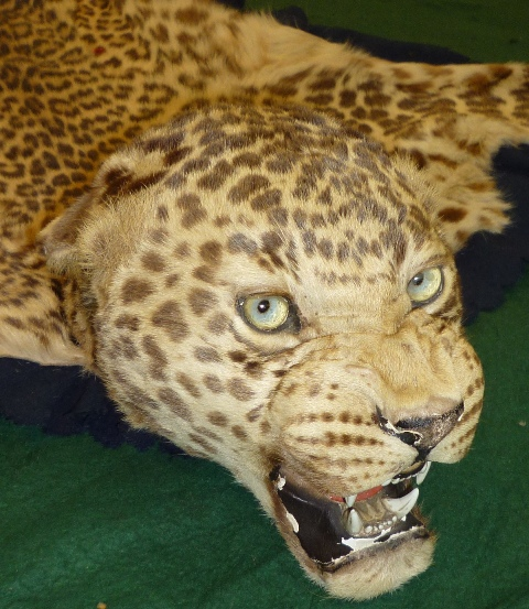 A LEOPARD SKIN WITH FULL HEAD (young) on felt back cloth, nose to tail 2m long, 1.3m maximum width