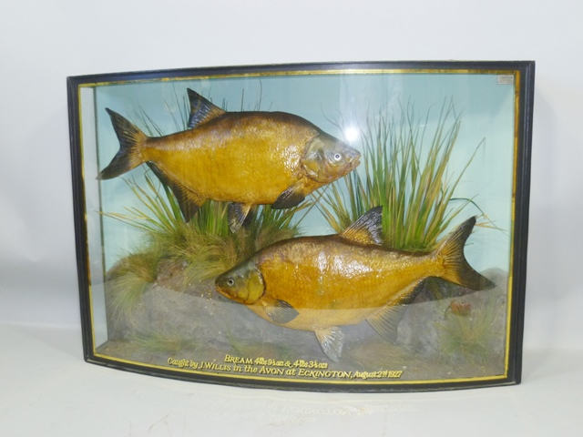 J. COOPER & SONS A PAIR OF BREAM 4lbs 9.5ozs and 4lbs 3.5ozs, Caught by J. Willis in the Avon at Eckington August 2nd 1927, bearing interior paper label, in bow fronted glazed case with gold line detail and lettering, 56 x 85cm