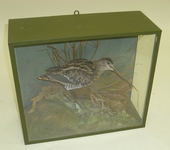 D.L. KENINGALE, WARWICKSHIRE Snipe, modelled in a naturalistic setting in green painted glazed display case, 29cm x 33cm
