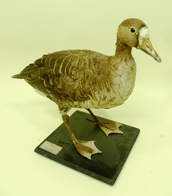 THE PETER J. FARRINGTON COLLECTION LESSER WHITE FRONTED GOOSE, open mounted on a painted base, 39cm high