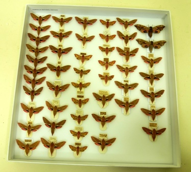 FARFALLA NATURAL HISTORY  AN EXTENSIVE COLLECTION OF BRITISH HAWK MOTHS, to include Elephant Hawk, Small Elephant Hawk, Eyed Hawk, well presented with full data