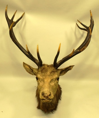 A FOURTEEN POINT STAGS HEAD