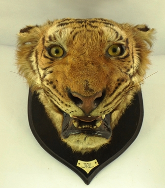 A ROWLAND WARD TIGER HEAD mounted on an oak shield, bears paper label verso Rowland Ward - The Jungle, 167 Piccadilly, London and a notice giving information on how to care for the specimen, bears ivorine label to base of shield Nepal Feb 1925, Shot by Lord Plymouth, shield 51cm high