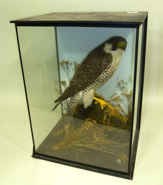 JOHN CULLINGFORD ADULT FEMALE PEREGRINE modelled amongst naturalistic groundwork , Cased by S. Strath